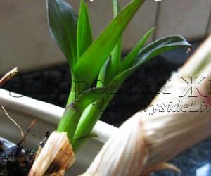 Дендробиум, орхидея