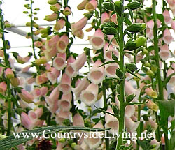 "Наперстянка пурпурная ""Абрикос"" (Digitalis purpurea ""Apricot"")"