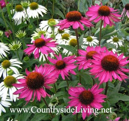 """Эхинацея пурпурная (Echinacea purpurea """"White Lustre"""") в ботаническом саду Уизли, Англия"""
