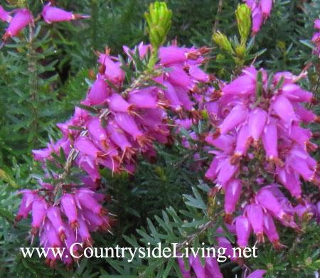 Растение эрика, цветы