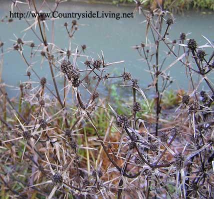 Синеголовник eryngium variifolium в саду зимой