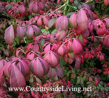 Бересклет красноплодный в осенних цветах. Euonymus miniata