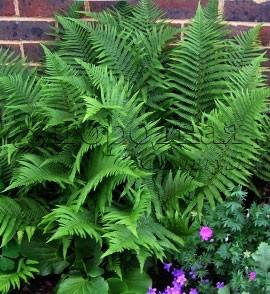 Теневыносливые и тенелюбивые растения (папоротник, бадан, колокольчик, герань садовая) в тенистой зоне моего сада
