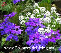 Однолетние садовые растения и цветы