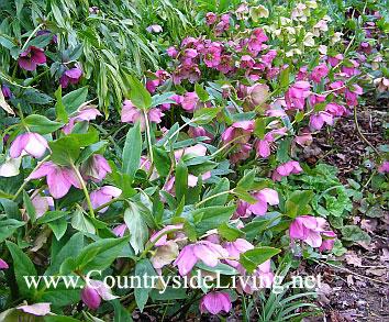Морозники в природном саду. Ботанический сад RHS Wisley, Англия