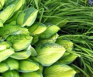 Хоста с желтыми листьями