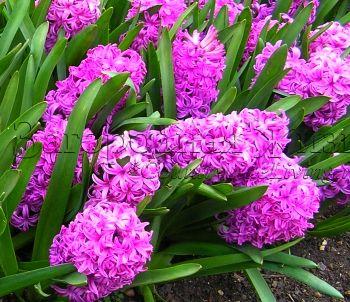 """Гиацинты на цветочной выставке """"Челси-2006"""""""