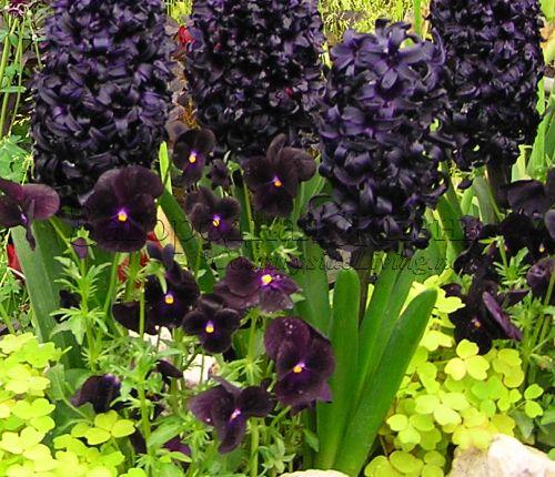 Гиацинты: посадка и уход в открытом грунте, выращивание в саду, виды | 430x500