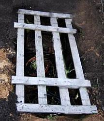 """Гортензия - зимнее укрытие """"прикоп"""". В готовую траншею установите растения, накройте траншею досками или деревянной решеткой..."""