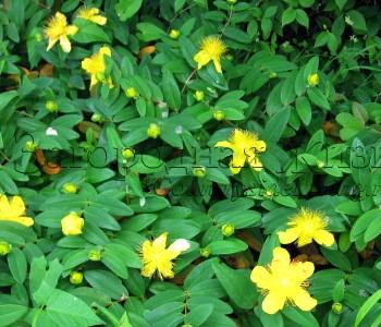 """Зверобой чашечковидный """"Роза Шарона"""" (Hypericum calycinum Rose of Sharon). Почвопокровник"""
