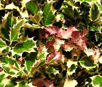 Падуб остролистный (остролист) трехцветный (Ilex aquifolium tricolor)