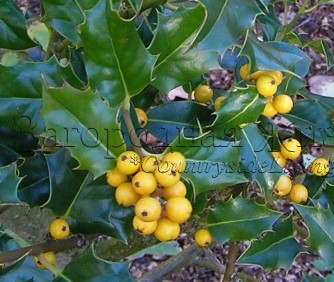 Падуб остролистный (остролист) с желтыми ягодами (Ilex aquifolium)