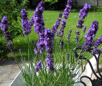 Лаванда узколистная (английская, истинная) (Lavandula angustifolia), цветы