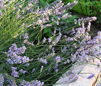 Как вырастить дома лаванду из семян