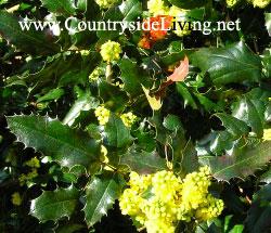 Магония вагнера (Mahonia wagneri), сорт Пиннакл