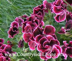 Однолетние цветы для дачи и сада - названия и фото