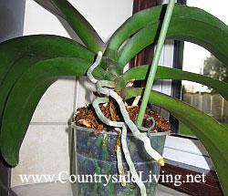 Фаленопсис, орхидея. Здоровая корневая система и воздушные корни над горшком