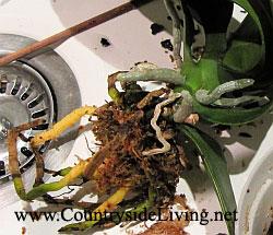 Чем обработать корни орхидеи при пересадке