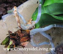 Фаленопсис, орхидея. Пересадка и реанимация