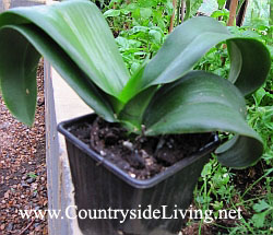 Орхидея фаленопсис. После пересадки