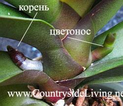 Фаленопсис: вроде отличить цветонос через корня на начале роста