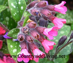 Медуница (пульмонария) - весенний первоцвет