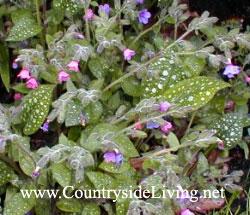 Медуница (пульмонария). Садовый цветок, лекарственное растение, трава