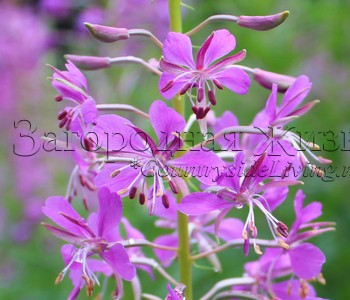 http://www.countrysideliving.net/img/plants/Rosebay-Willowherb_Epilobium-angustifolium.jpg