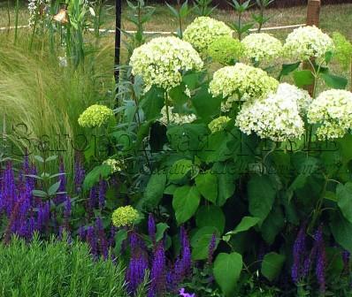 """Сальвия дубравная (Salvia nemorosa) и гортензия древовидная (Hydrangea arborescens). Фрагмент сада на садоводческой выставке """"Хэмптон Корт"""""""