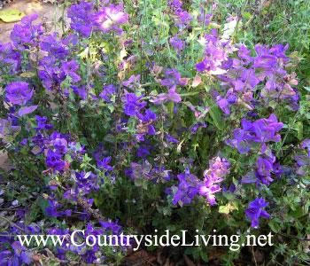 Сальвия мускатная (шалфей мускатный). Salvia sclarea