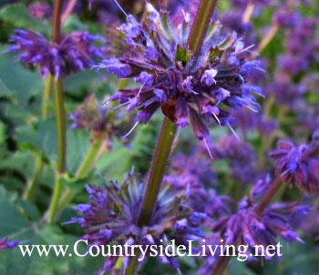 Сальвия мутовчатая. Salvia verticulata