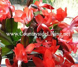 Декабрист (шлюмбергера, зигокактус) цветок