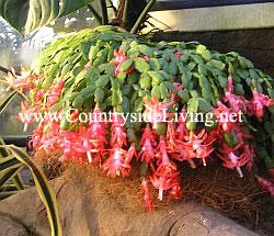 Декабрист (шлюмбергера, зигокактус) цветок в оранжерее ботанического сада RHS Wisley