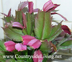 Декабрист (шлюмбергера, зигокактус) летом - рост новых листьев
