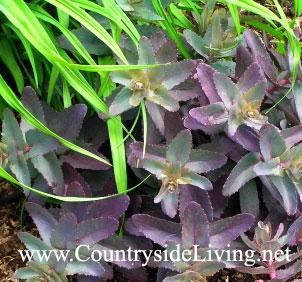 Седум 'Пурпурный император', первые листья. Sedum purdeyi 'Purple Emperor'