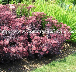 Седум 'Пурпурный император', цветы. Sedum purdeyi 'Purple Emperor'