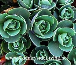 Очиток видный (седум, молодило, заячья капуста), первые листья. Sedum spectabile