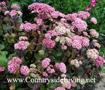 Седум очиток сорта 'Матрона', цветы. Sedum telephium 'Matrona'