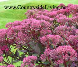 Очиток (седум, молодило, заячья капуста), цветы. Sedum
