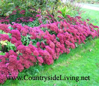 Седум очеток видный сорта 'Herbstfreude', цветы. Sedum spectabile 'Herbstfreude'