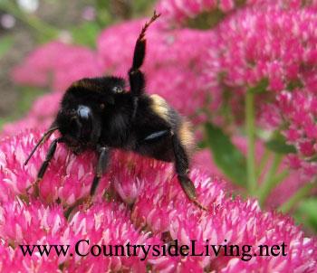 Очиток (седум, молодило, заячья капуста), цветок медонос. Sedum. Шмель на цветке очитка