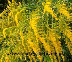 солидаго растение фото