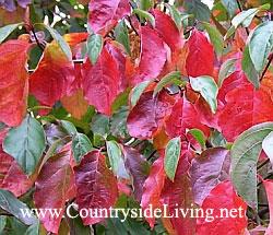 Стюартия псевдокамелия (Stewartia pseudocamellia) в цветах осени