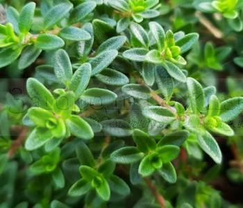 Пряные травы. Чабрец (тимьян, Богородская трава) на цвету