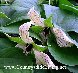Первоцветы - первые весенние цветы. Триллиум прямостоячий Luteum (Trillium erectum Luteum)