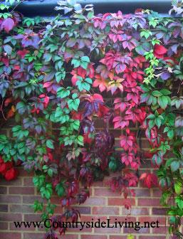 Девичий виноград (Parthenocissus quinquefolia) на нашей улице, осень
