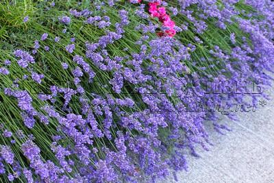 Лаванда узколистная (английская, истинная) (Lavandula angustifolia), цветы. Фрагмент невысокой живой изгороди из лаванды